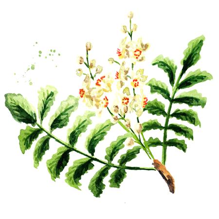Kadidlovník pílovitý (Boswellia serrata extrakt)